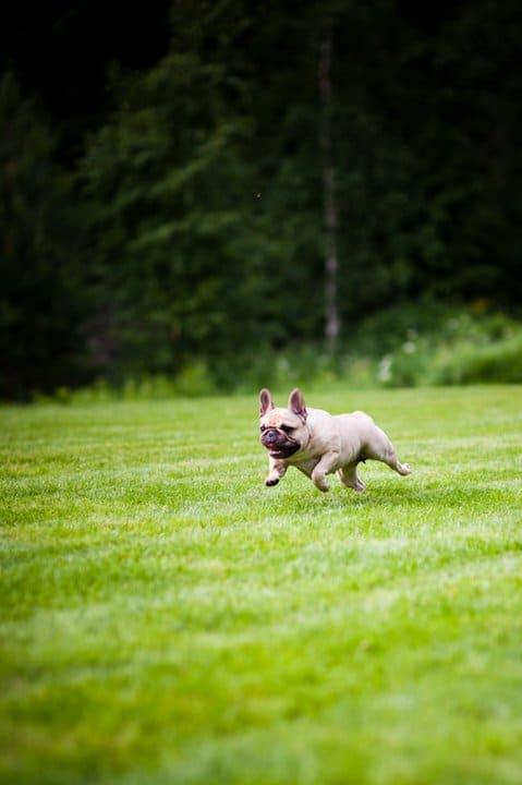 Dina, ranskanbulldoggi