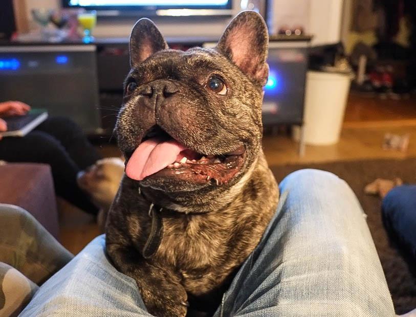 Ludde, ranskanbulldoggi